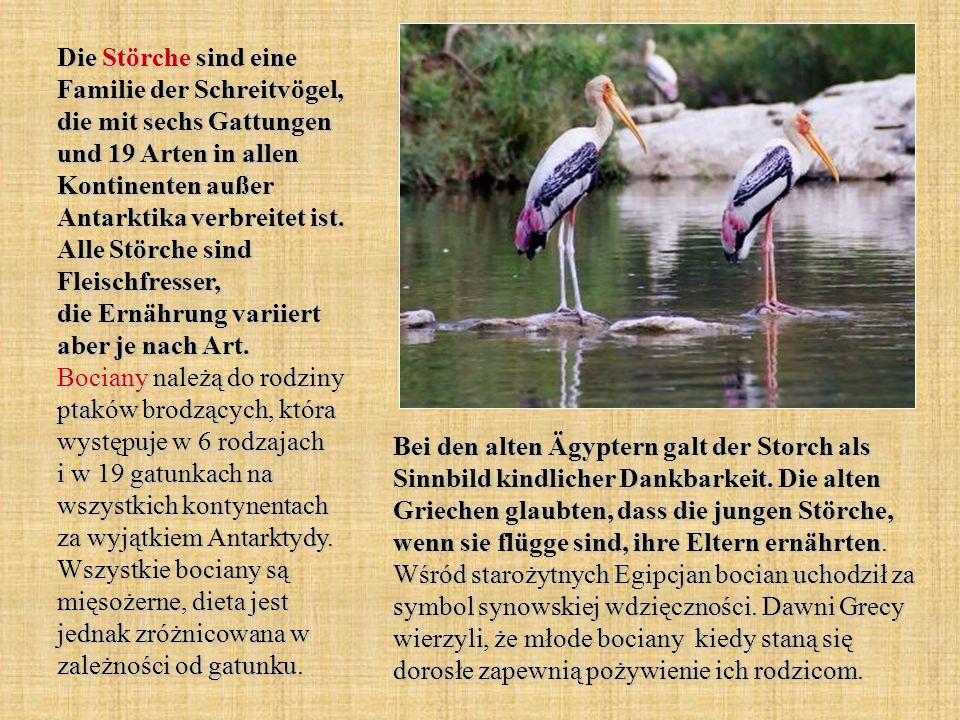 Die Störche sind eine Familie der Schreitvögel, die mit sechs Gattungen und 19 Arten in allen Kontinenten außer Antarktika verbreitet ist. Alle Störch