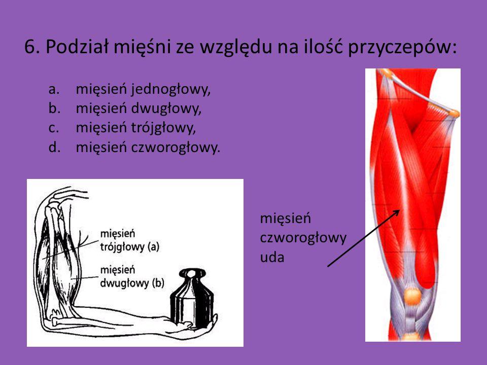 6. Podział mięśni ze względu na ilość przyczepów: a.mięsień jednogłowy, b.mięsień dwugłowy, c.mięsień trójgłowy, d.mięsień czworogłowy. mięsień czworo