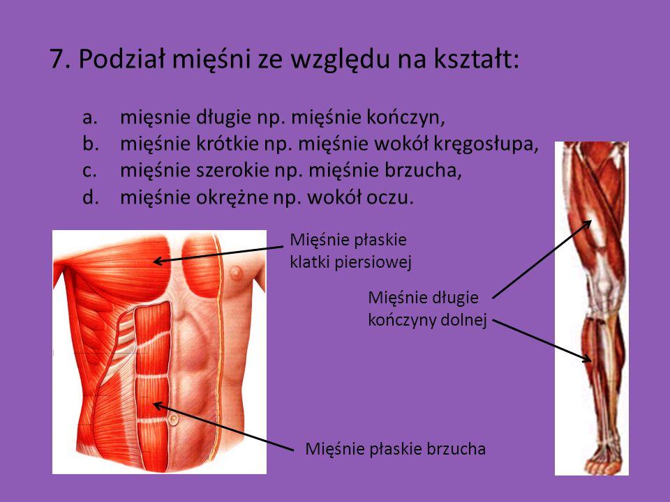 7. Podział mięśni ze względu na kształt: a.mięsnie długie np. mięśnie kończyn, b.mięśnie krótkie np. mięśnie wokół kręgosłupa, c.mięśnie szerokie np.