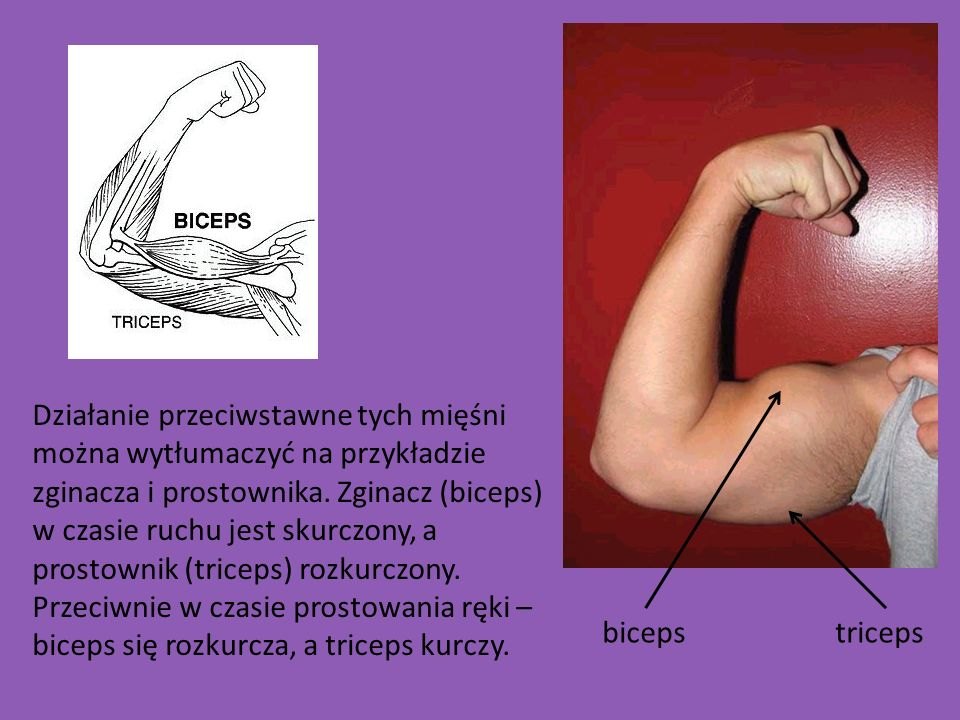 Działanie przeciwstawne tych mięśni można wytłumaczyć na przykładzie zginacza i prostownika. Zginacz (biceps) w czasie ruchu jest skurczony, a prostow