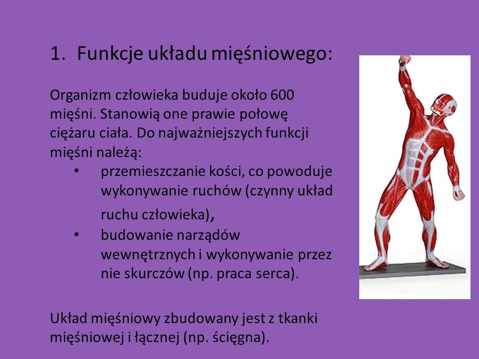 1.Funkcje układu mięśniowego: Organizm człowieka buduje około 600 mięśni. Stanowią one prawie połowę ciężaru ciała. Do najważniejszych funkcji mięśni