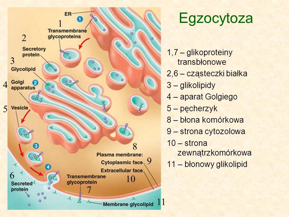 1,7 – glikoproteiny transbłonowe 2,6 – cząsteczki białka 3 – glikolipidy 4 – aparat Golgiego 5 – pęcherzyk 8 – błona komórkowa 9 – strona cytozolowa 1