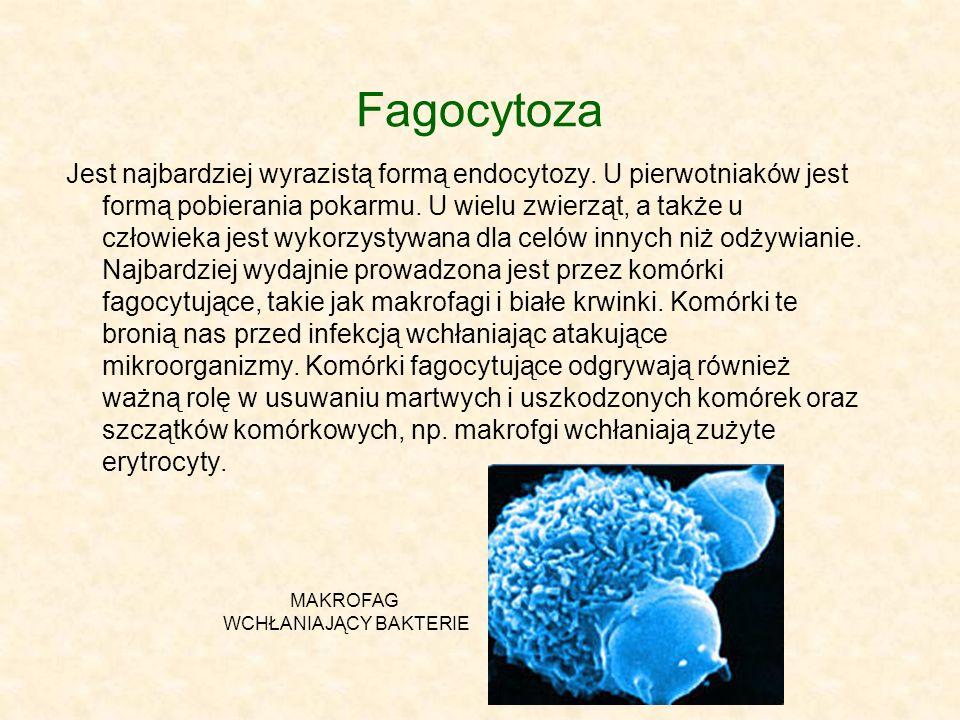 Fagocytoza Jest najbardziej wyrazistą formą endocytozy. U pierwotniaków jest formą pobierania pokarmu. U wielu zwierząt, a także u człowieka jest wyko