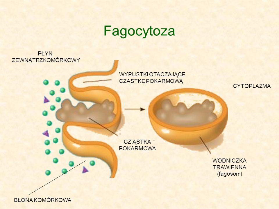 Fagocytoza PŁYN ZEWNĄTRZKOMÓRKOWY BŁONA KOMÓRKOWA CZ ĄSTKA POKARMOWA WYPUSTKI OTACZAJĄCE CZĄSTKĘ POKARMOWĄ WODNICZKA TRAWIENNA (fagosom) CYTOPLAZMA