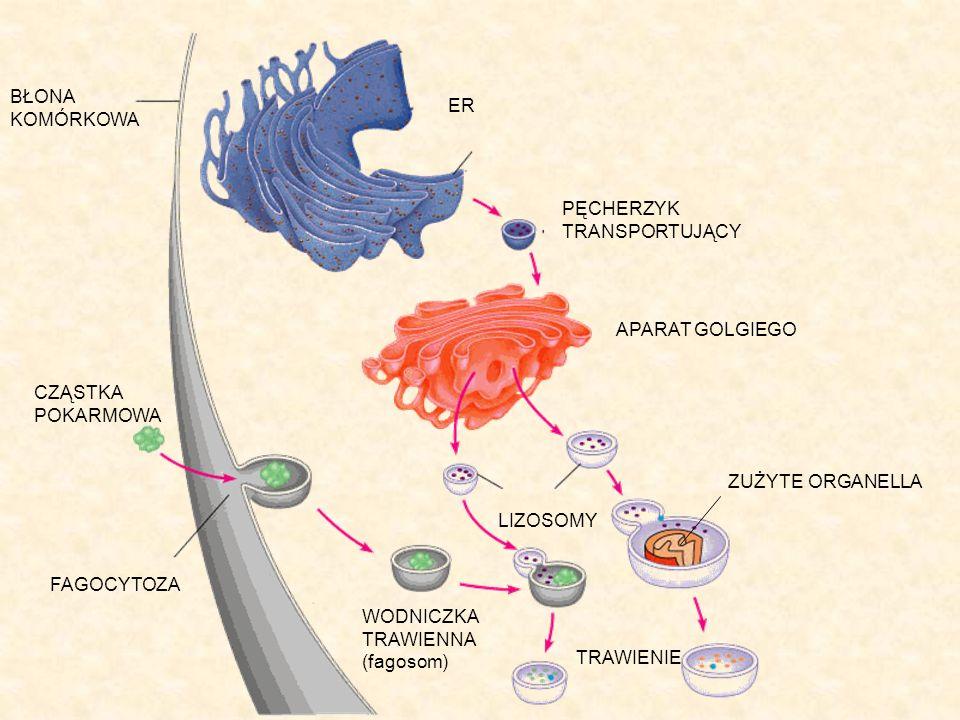 BŁONA KOMÓRKOWA CZĄSTKA POKARMOWA FAGOCYTOZA WODNICZKA TRAWIENNA (fagosom) TRAWIENIE LIZOSOMY ZUŻYTE ORGANELLA APARAT GOLGIEGO ER PĘCHERZYK TRANSPORTU