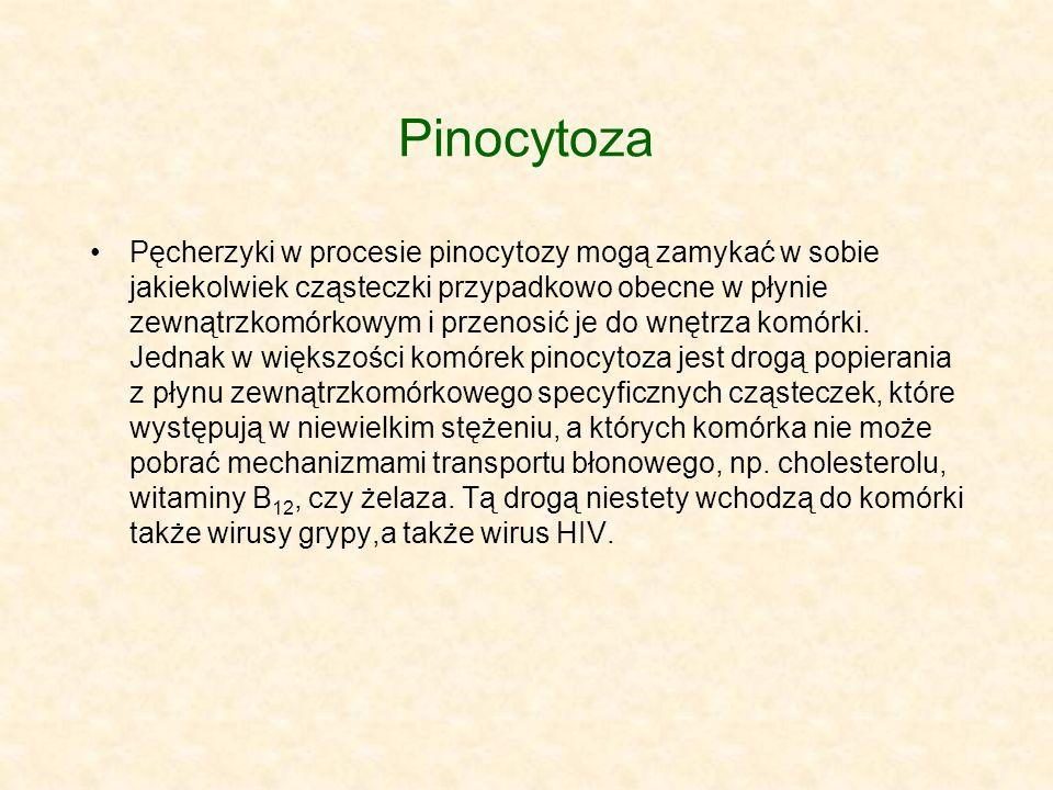 Pinocytoza Pęcherzyki w procesie pinocytozy mogą zamykać w sobie jakiekolwiek cząsteczki przypadkowo obecne w płynie zewnątrzkomórkowym i przenosić je