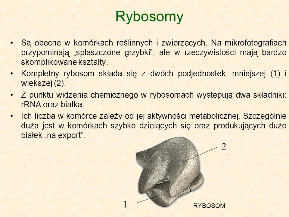 Rybosomy Są obecne w komórkach roślinnych i zwierzęcych. Na mikrofotografiach przypominają spłaszczone grzybki, ale w rzeczywistości mają bardzo skomp