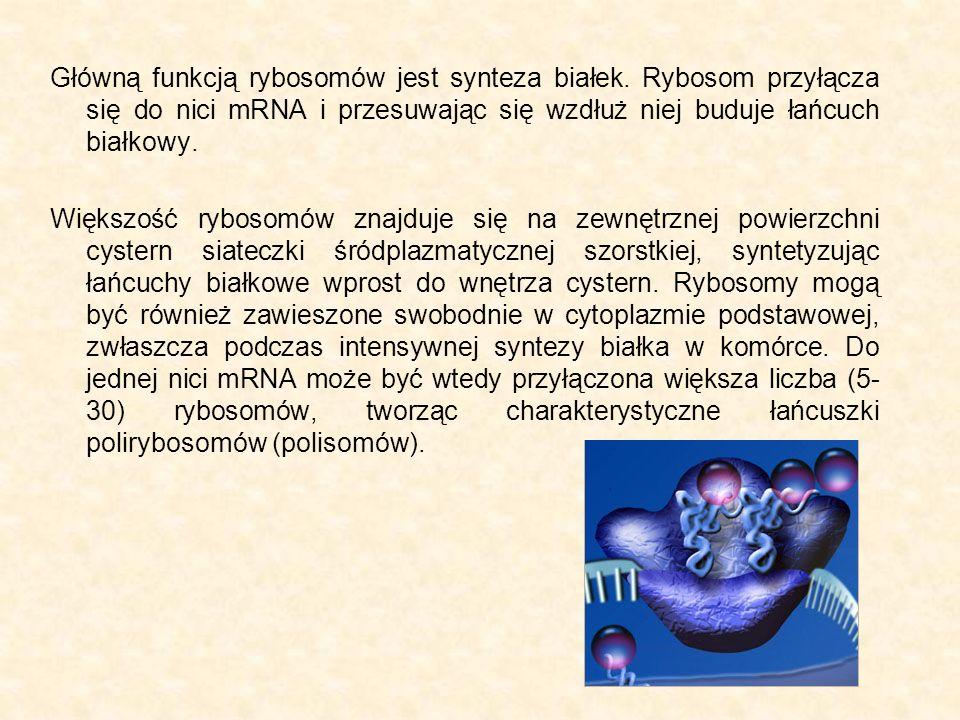 Główną funkcją rybosomów jest synteza białek. Rybosom przyłącza się do nici mRNA i przesuwając się wzdłuż niej buduje łańcuch białkowy. Większość rybo