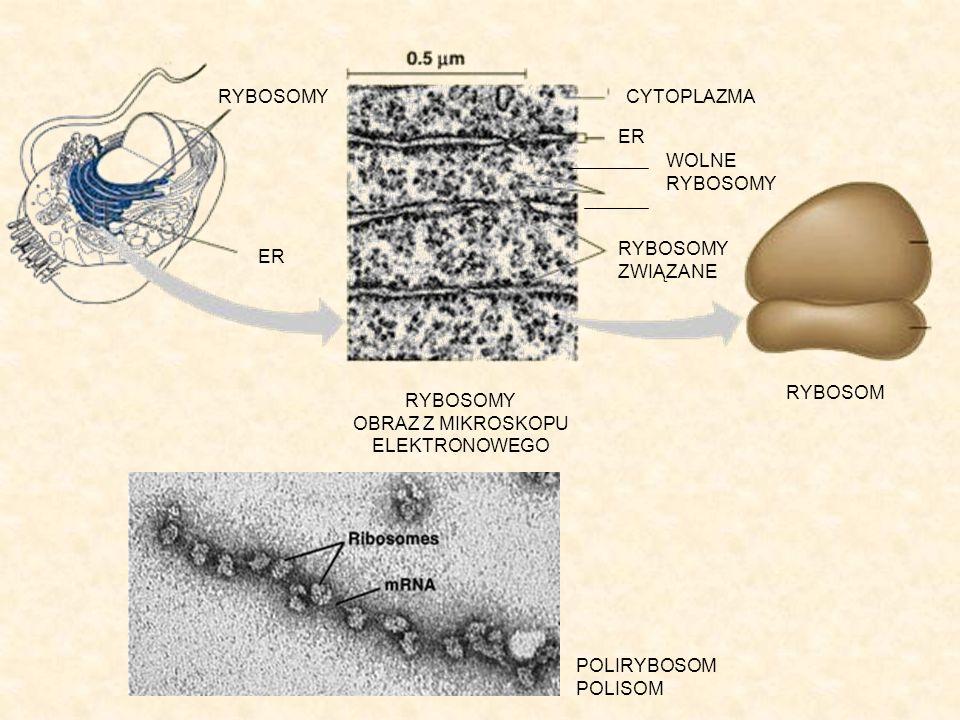 Rodzaje rybosomów Rybosmy małe, które występują u Procaryota oraz w mitochondriach i plastydach Eucaryota.