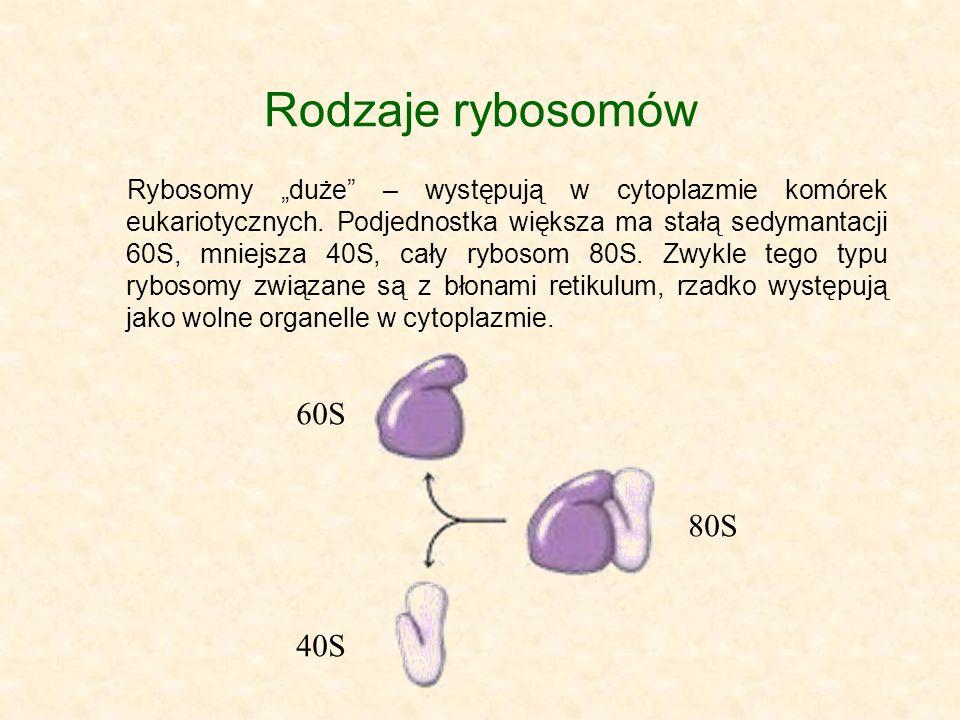 Rodzaje rybosomów Rybosomy duże – występują w cytoplazmie komórek eukariotycznych. Podjednostka większa ma stałą sedymantacji 60S, mniejsza 40S, cały