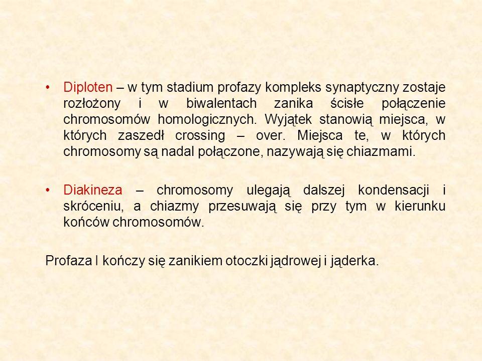 Diploten – w tym stadium profazy kompleks synaptyczny zostaje rozłożony i w biwalentach zanika ścisłe połączenie chromosomów homologicznych. Wyjątek s