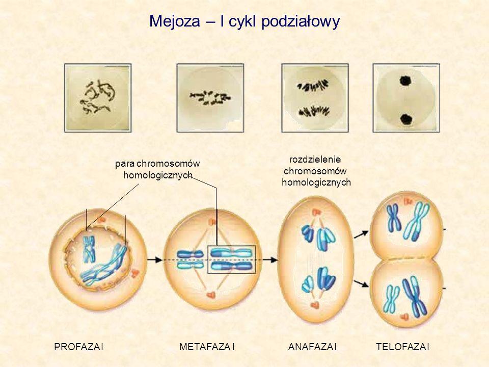Mejoza – I cykl podziałowy PROFAZA I METAFAZA I ANAFAZA I TELOFAZA I para chromosomów homologicznych rozdzielenie chromosomów homologicznych