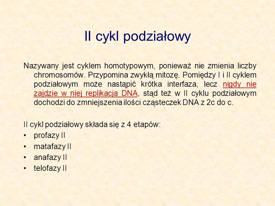 II cykl podziałowy Nazywany jest cyklem homotypowym, ponieważ nie zmienia liczby chromosomów. Przypomina zwykłą mitozę. Pomiędzy I i II cyklem podział