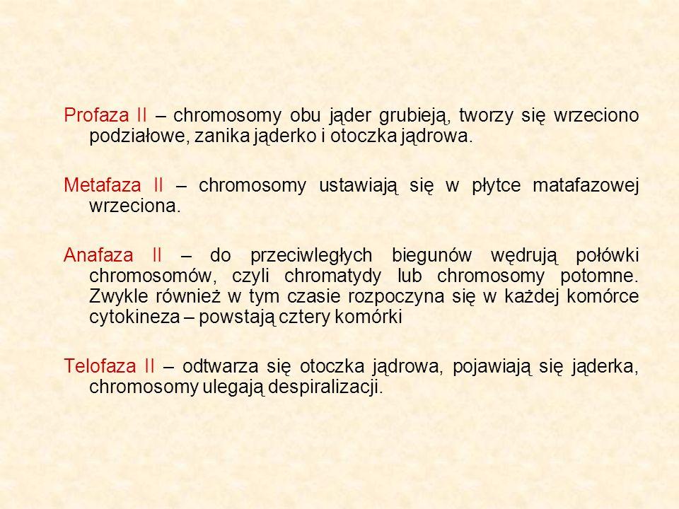 Profaza II – chromosomy obu jąder grubieją, tworzy się wrzeciono podziałowe, zanika jąderko i otoczka jądrowa. Metafaza II – chromosomy ustawiają się