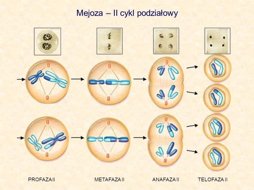 Mejoza – II cykl podziałowy PROFAZA II METAFAZA II ANAFAZA II TELOFAZA II