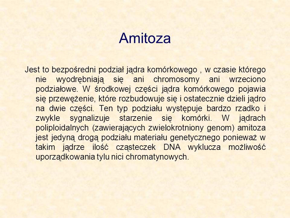 Amitoza Jest to bezpośredni podział jądra komórkowego, w czasie którego nie wyodrębniają się ani chromosomy ani wrzeciono podziałowe. W środkowej częś