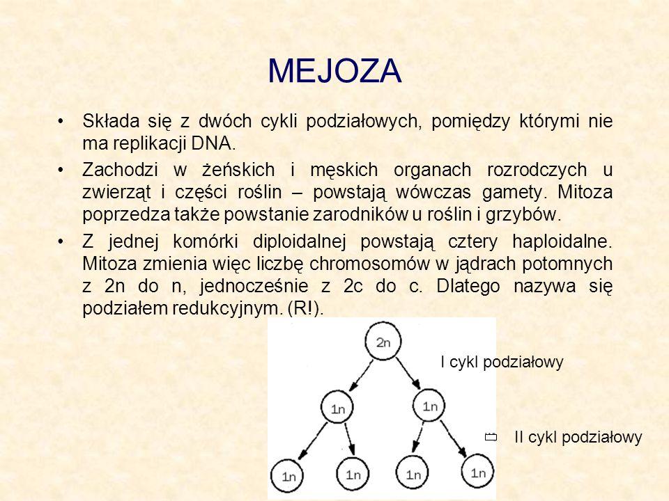 MEJOZA Składa się z dwóch cykli podziałowych, pomiędzy którymi nie ma replikacji DNA. Zachodzi w żeńskich i męskich organach rozrodczych u zwierząt i