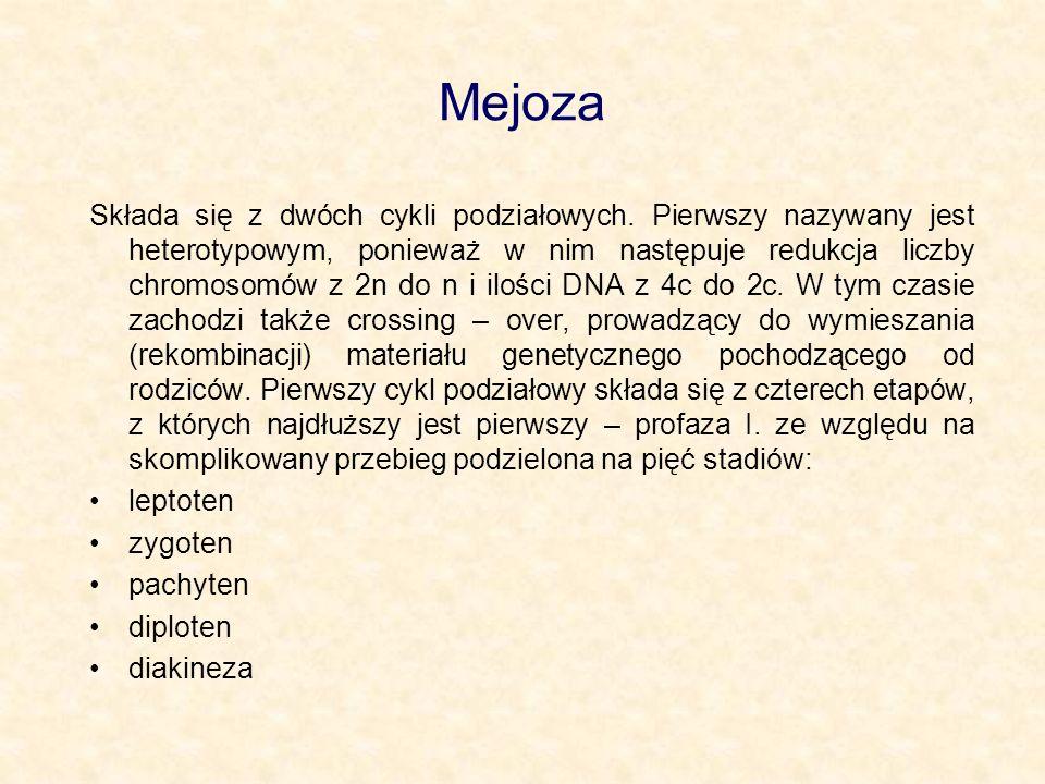 Mejoza Składa się z dwóch cykli podziałowych. Pierwszy nazywany jest heterotypowym, ponieważ w nim następuje redukcja liczby chromosomów z 2n do n i i