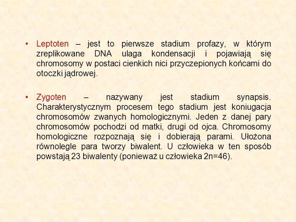Pachyten – stadium grubych nici.