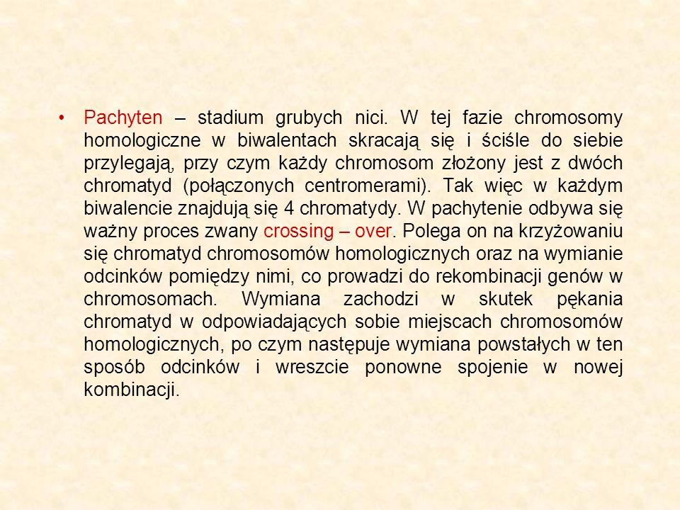 Pachyten – stadium grubych nici. W tej fazie chromosomy homologiczne w biwalentach skracają się i ściśle do siebie przylegają, przy czym każdy chromos