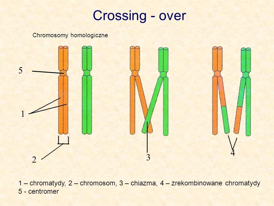 Crossing - over 1 2 3 4 Chromosomy homologiczne 1 – chromatydy, 2 – chromosom, 3 – chiazma, 4 – zrekombinowane chromatydy 5 - centromer 5