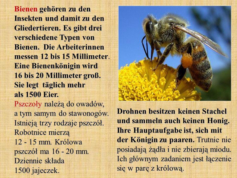 Bienen gehören zu den Insekten und damit zu den Gliedertieren. Es gibt drei verschiedene Typen von Bienen. Die Arbeiterinnen messen 12 bis 15 Millimet