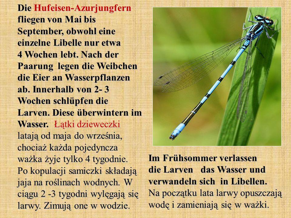 Die Hufeisen-Azurjungfern fliegen von Mai bis September, obwohl eine einzelne Libelle nur etwa 4 Wochen lebt. Nach der Paarung legen die Weibchen die