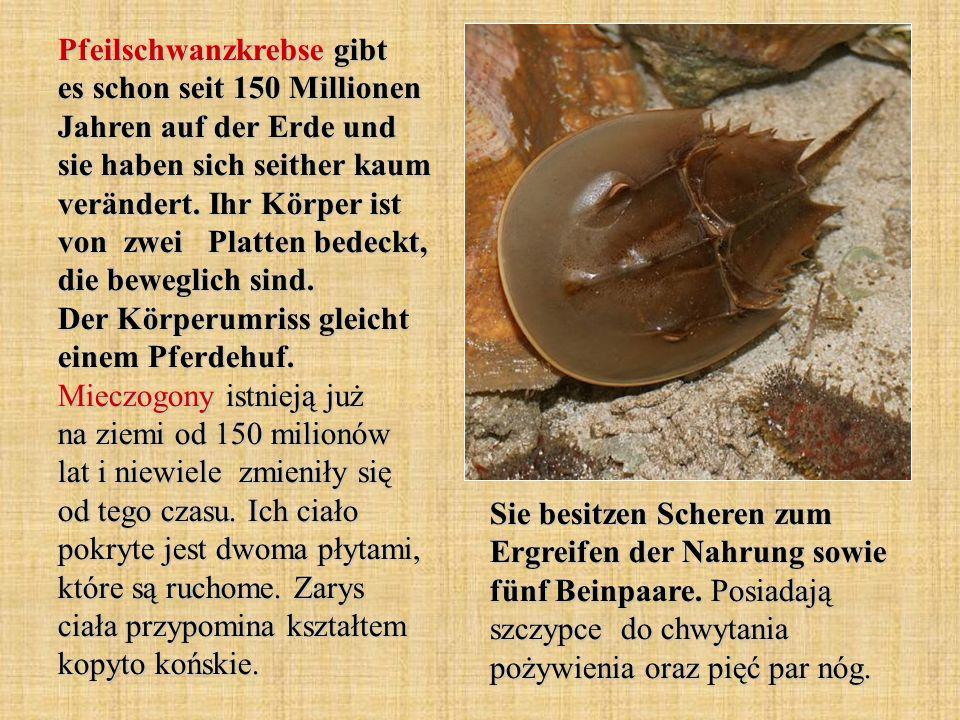 Pfeilschwanzkrebse gibt es schon seit 150 Millionen Jahren auf der Erde und sie haben sich seither kaum verändert. Ihr Körper ist von zwei Platten bed