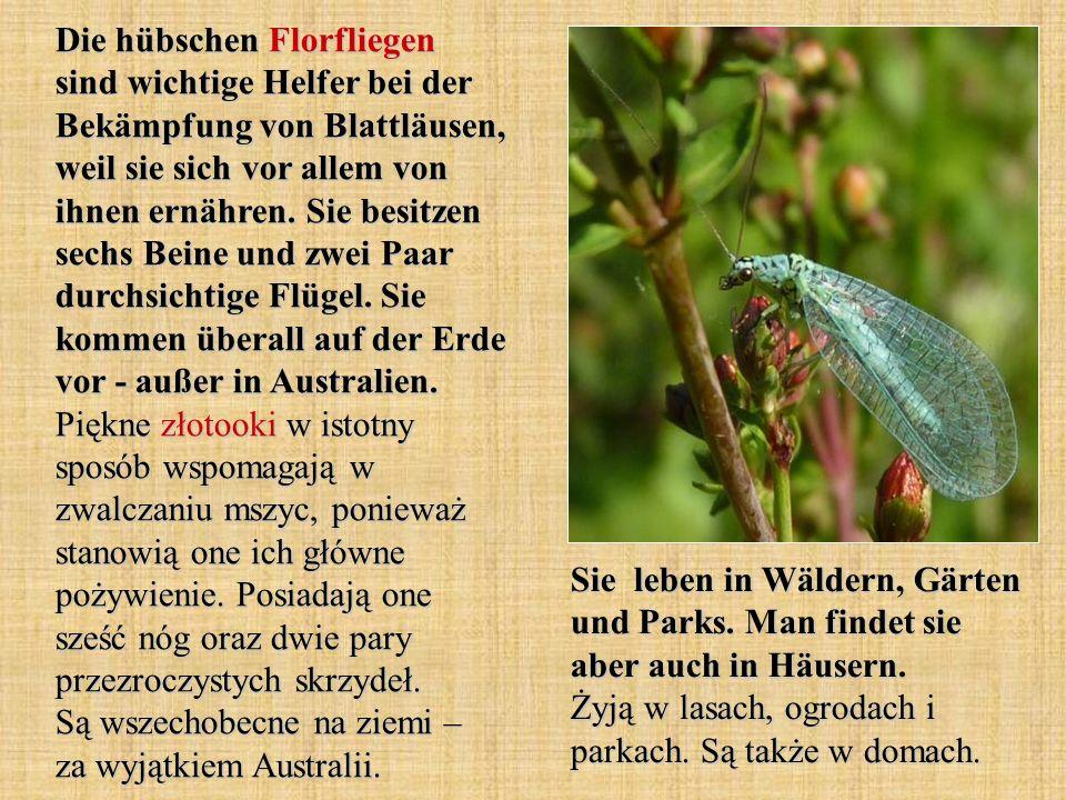 Die hübschen Florfliegen sind wichtige Helfer bei der Bekämpfung von Blattläusen, weil sie sich vor allem von ihnen ernähren. Sie besitzen sechs Beine