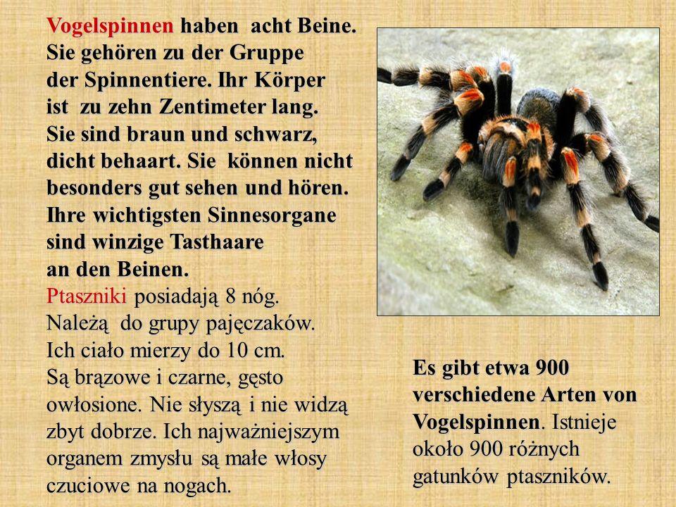 Vogelspinnen haben acht Beine. Sie gehören zu der Gruppe der Spinnentiere. Ihr Körper ist zu zehn Zentimeter lang. Sie sind braun und schwarz, dicht b