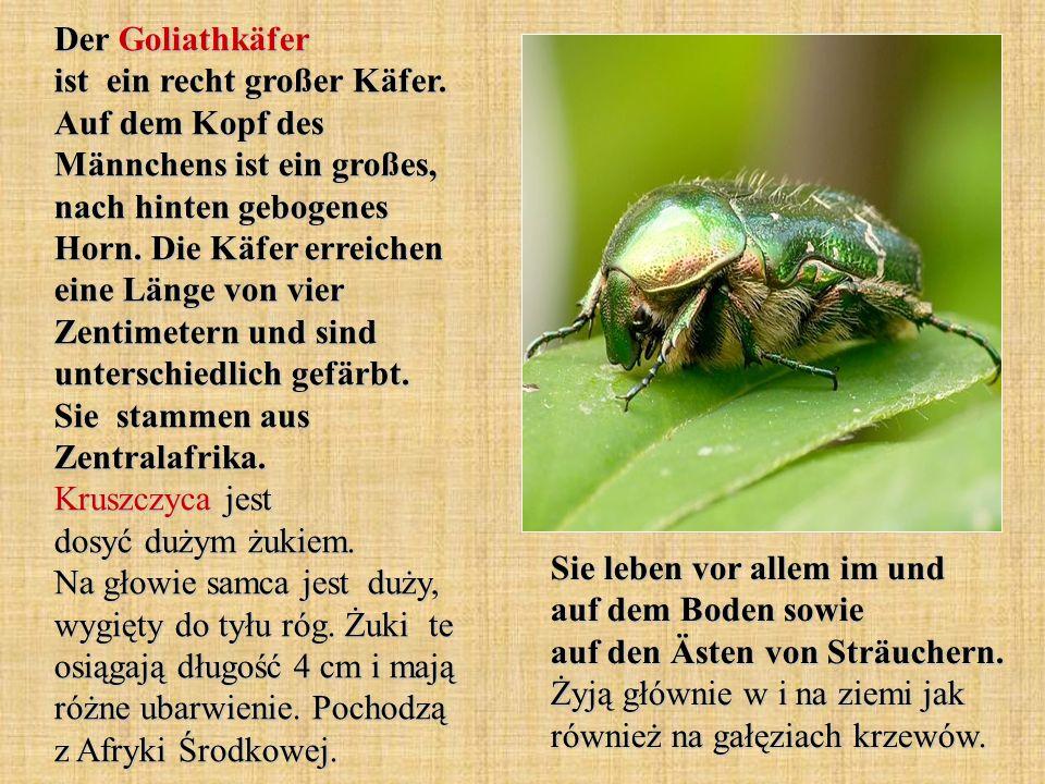Der Goliathkäfer ist ein recht großer Käfer. Auf dem Kopf des Männchens ist ein großes, nach hinten gebogenes Horn. Die Käfer erreichen eine Länge von