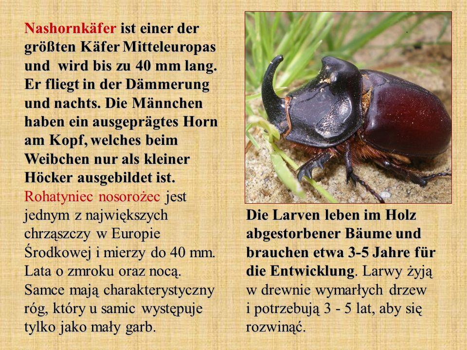 Nashornkäfer ist einer der größten Käfer Mitteleuropas und wird bis zu 40 mm lang. Er fliegt in der Dämmerung und nachts. Die Männchen haben ein ausge