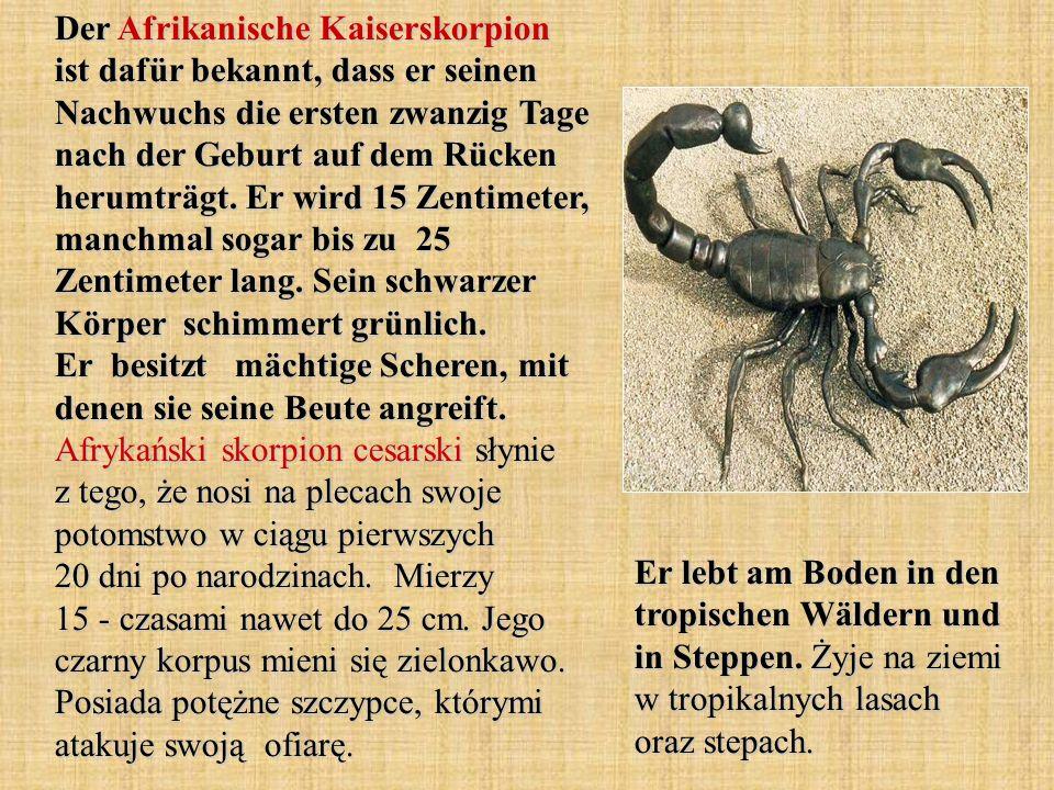 Der Afrikanische Kaiserskorpion ist dafür bekannt, dass er seinen Nachwuchs die ersten zwanzig Tage nach der Geburt auf dem Rücken herumträgt. Er wird