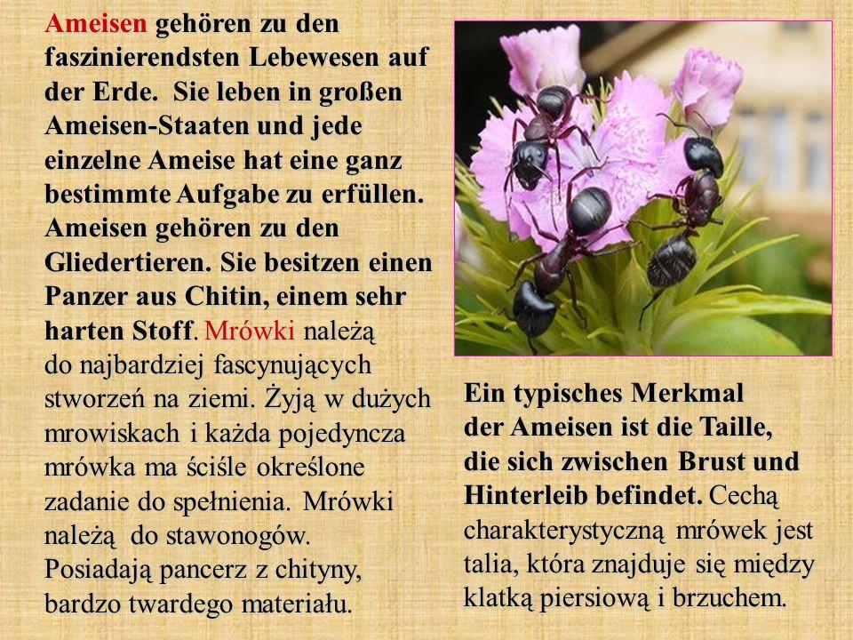 Ameisen gehören zu den faszinierendsten Lebewesen auf der Erde. Sie leben in großen Ameisen-Staaten und jede einzelne Ameise hat eine ganz bestimmte A