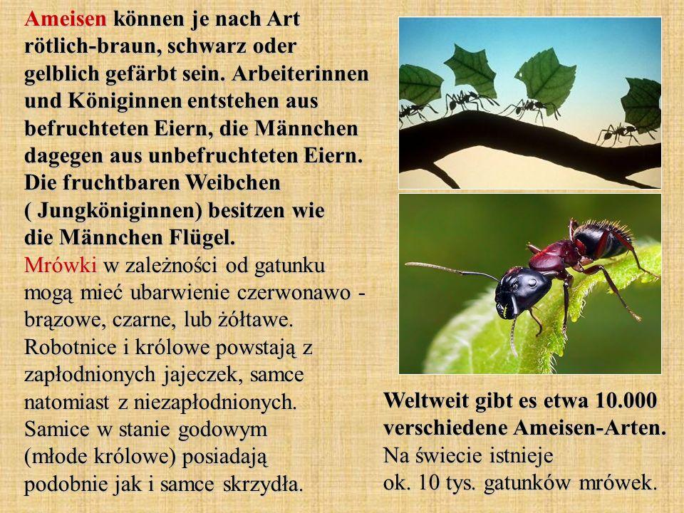 Ameisen können je nach Art rötlich-braun, schwarz oder gelblich gefärbt sein. Arbeiterinnen und Königinnen entstehen aus befruchteten Eiern, die Männc