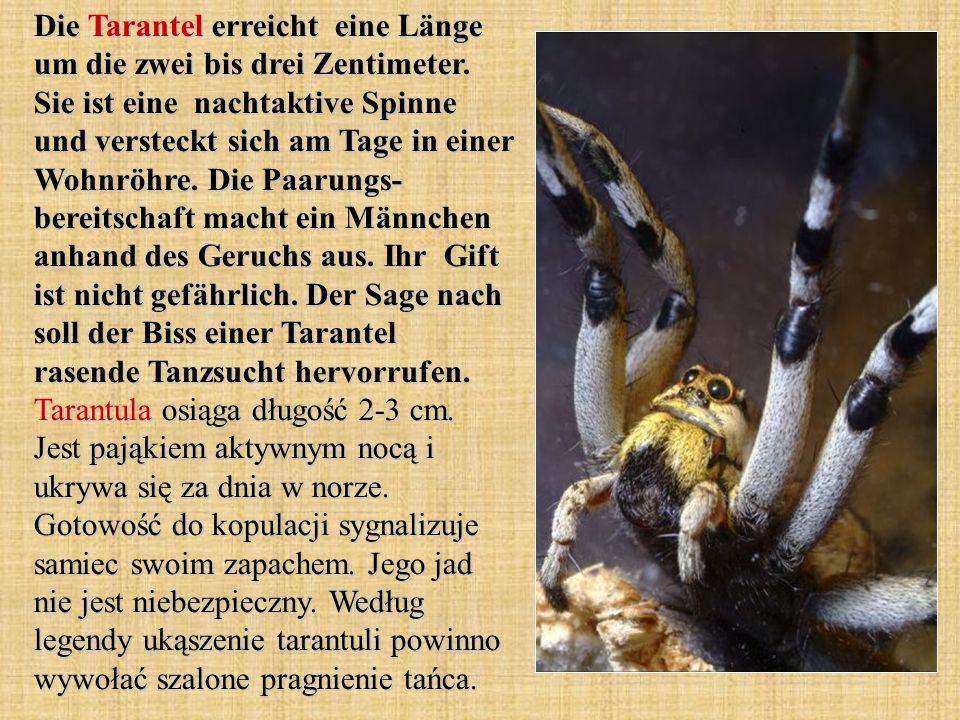 Die Tarantel erreicht eine Länge um die zwei bis drei Zentimeter. Sie ist eine nachtaktive Spinne und versteckt sich am Tage in einer Wohnröhre. Die P