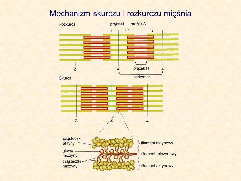 Mechanizm skurczu i rozkurczu mięśnia