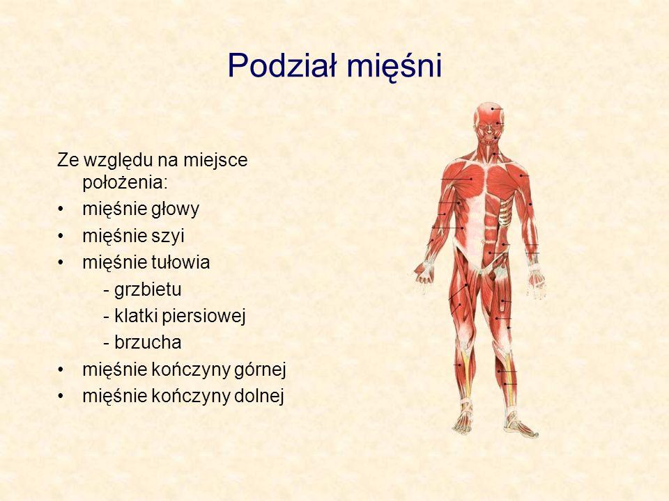 Podział mięśni Ze względu na miejsce położenia: mięśnie głowy mięśnie szyi mięśnie tułowia - grzbietu - klatki piersiowej - brzucha mięśnie kończyny g