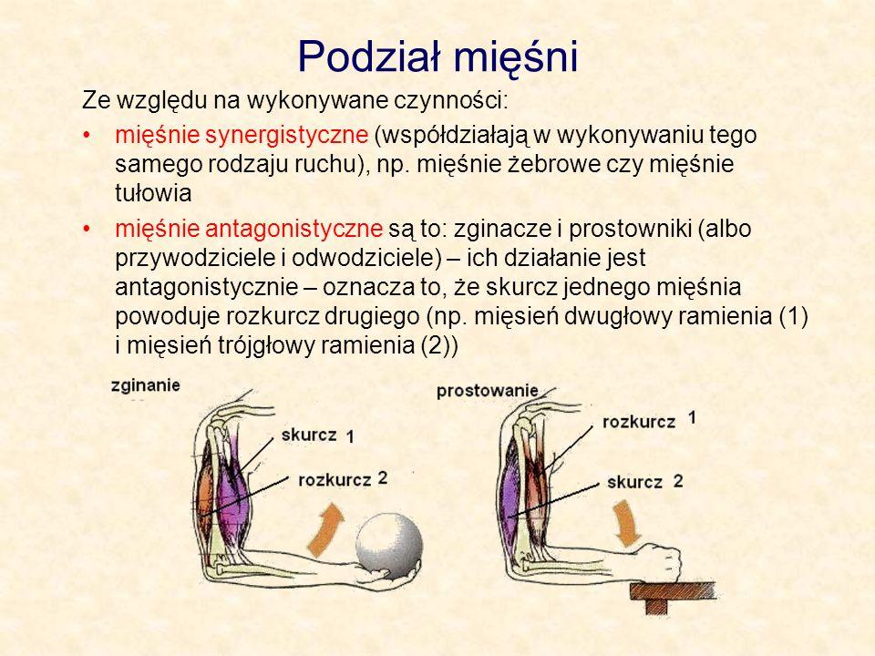 Podział mięśni Ze względu na wykonywane czynności: mięśnie synergistyczne (współdziałają w wykonywaniu tego samego rodzaju ruchu), np. mięśnie żebrowe