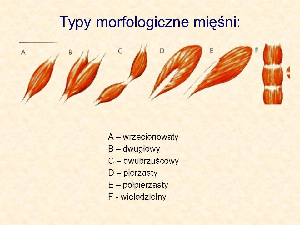 Typy morfologiczne mięśni: A – wrzecionowaty B – dwugłowy C – dwubrzuścowy D – pierzasty E – półpierzasty F - wielodzielny