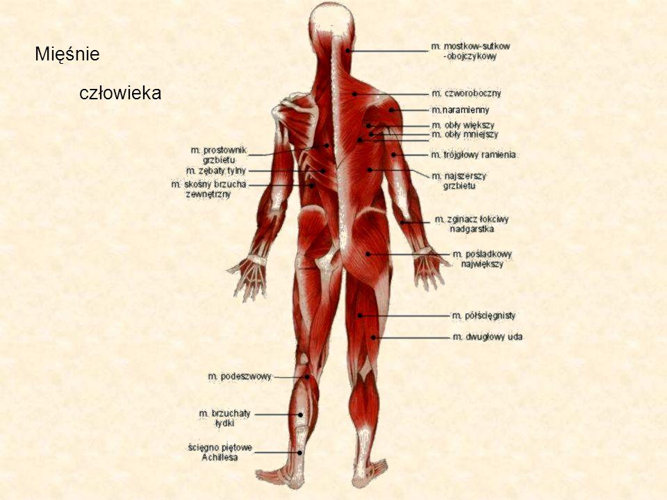 Mięśnie człowieka