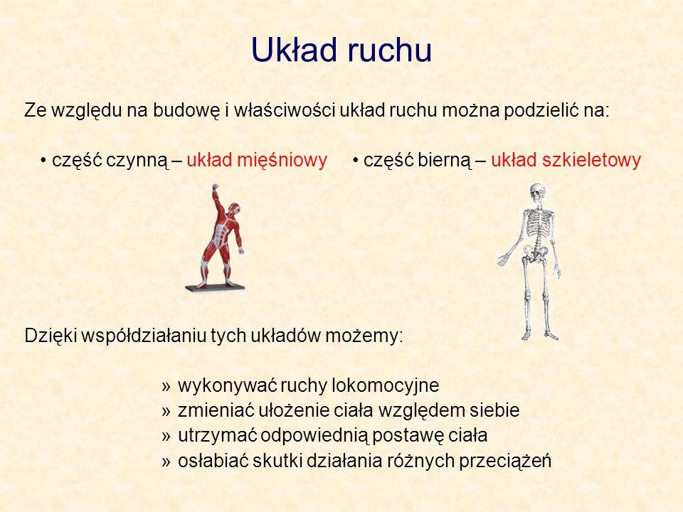 Układ ruchu Ze względu na budowę i właściwości układ ruchu można podzielić na: część czynną – układ mięśniowy część bierną – układ szkieletowy Dzięki