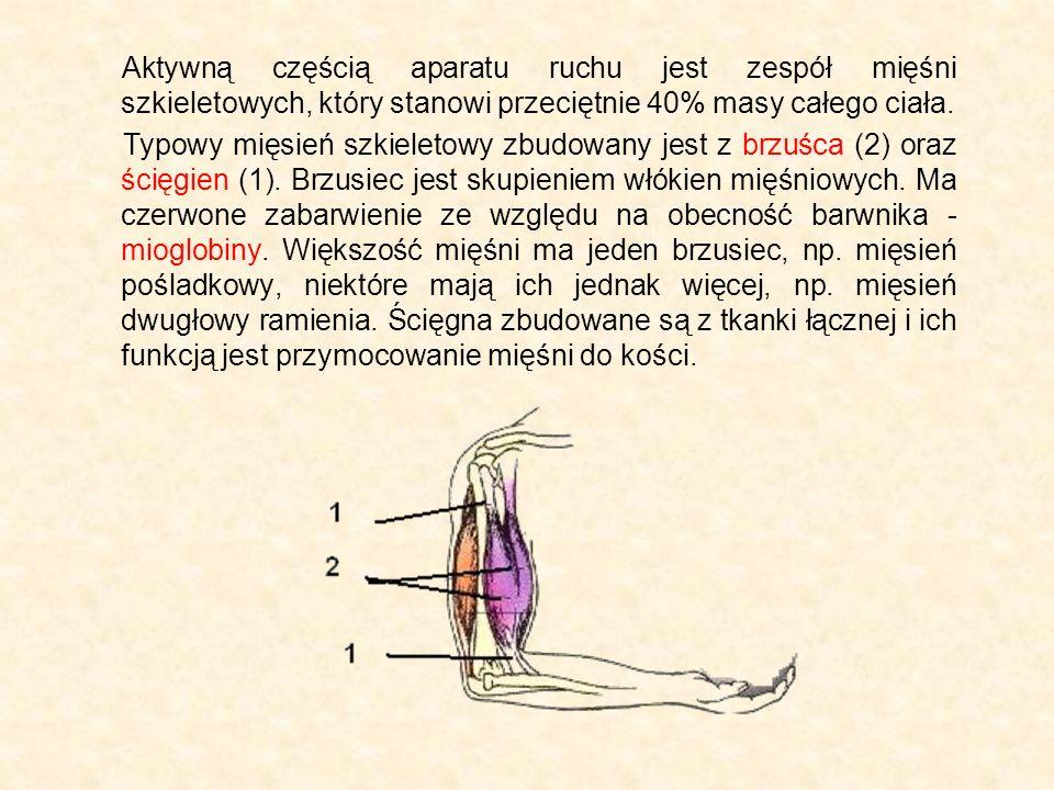 Aktywną częścią aparatu ruchu jest zespół mięśni szkieletowych, który stanowi przeciętnie 40% masy całego ciała. Typowy mięsień szkieletowy zbudowany