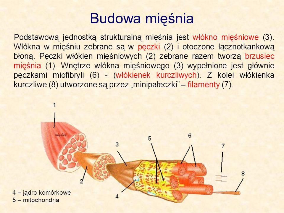 Budowa mięśnia Podstawową jednostką strukturalną mięśnia jest włókno mięśniowe (3). Włókna w mięśniu zebrane są w pęczki (2) i otoczone łącznotkankową