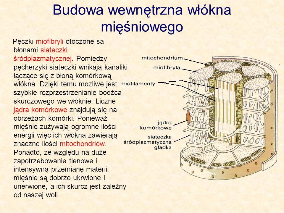 Budowa wewnętrzna włókna mięśniowego Pęczki miofibryli otoczone są błonami siateczki śródplazmatycznej. Pomiędzy pęcherzyki siateczki wnikają kanaliki