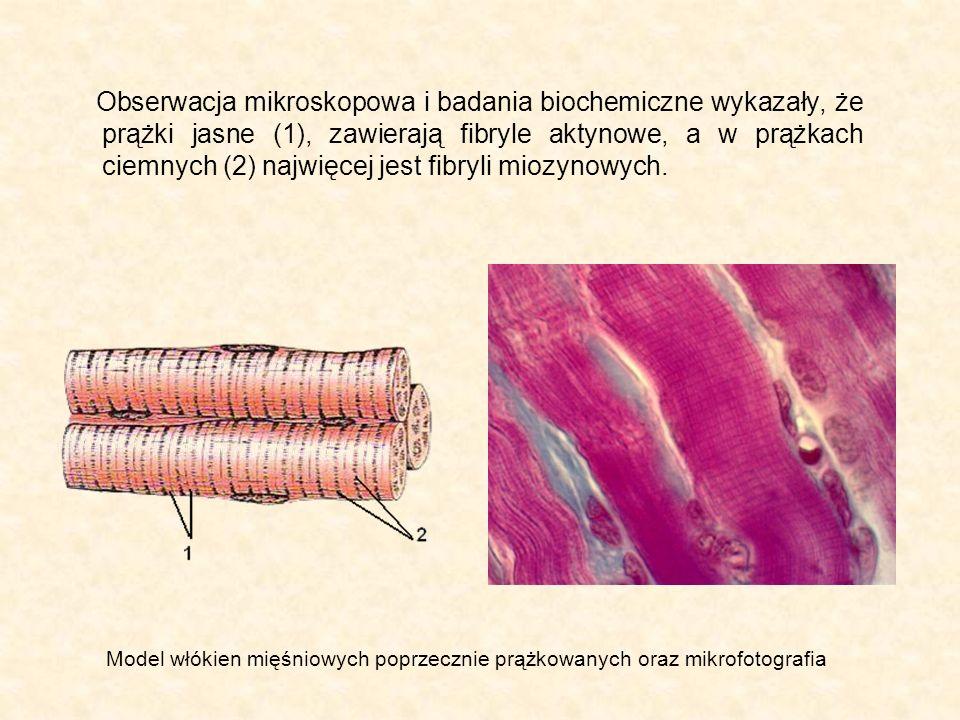 Obserwacja mikroskopowa i badania biochemiczne wykazały, że prążki jasne (1), zawierają fibryle aktynowe, a w prążkach ciemnych (2) najwięcej jest fib
