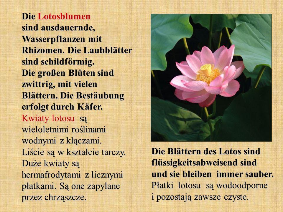 Die Lotosblumen sind ausdauernde, Wasserpflanzen mit Rhizomen. Die Laubblätter sind schildförmig. Die großen Blüten sind zwittrig, mit vielen Blättern