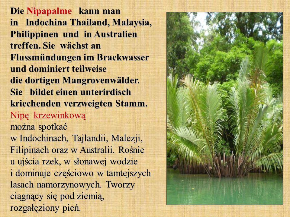 Die Nipapalme kann man in Indochina Thailand, Malaysia, Philippinen und in Australien treffen. Sie wächst an Flussmündungen im Brackwasser und dominie