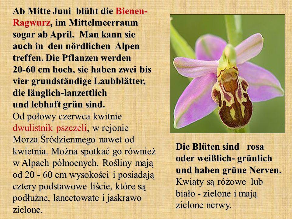 Ab Mitte Juni blüht die Bienen- Ragwurz, im Mittelmeerraum sogar ab April. Man kann sie auch in den nördlichen Alpen treffen. Die Pflanzen werden 20-6