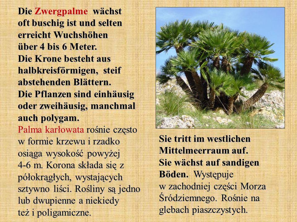 Die Zwergpalme wächst oft buschig ist und selten erreicht Wuchshöhen über 4 bis 6 Meter. Die Krone besteht aus halbkreisförmigen, steif abstehenden Bl